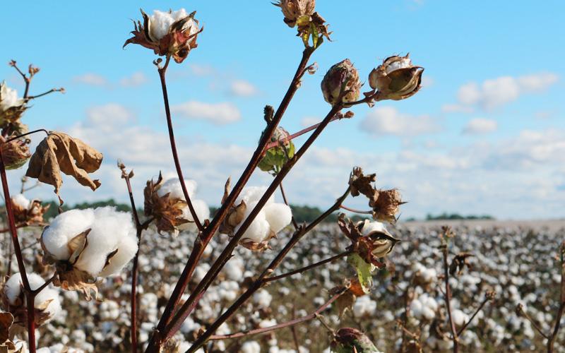 Il cotone nel mondo